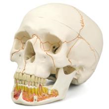 頭蓋,下顎開放型,3分解モデル