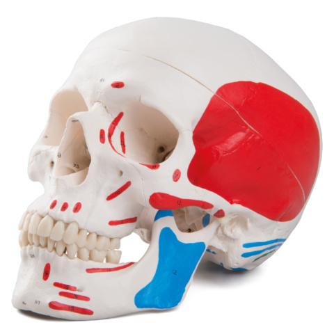 頭蓋,筋・番号表示付,3分解モデル