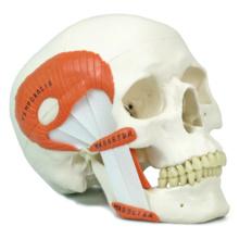 頭蓋,咀嚼筋付,2分解モデル
