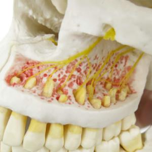 上顎内部,神経を表示:左上顎
