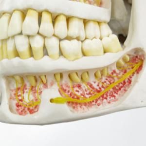 下顎内部,神経を表示:左下顎