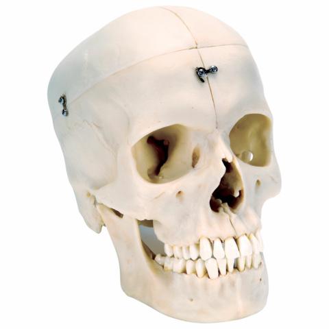 頭蓋,高精度型6分解コンプリートモデル BONElike™