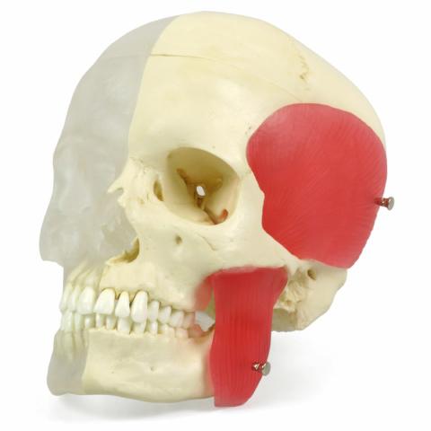 頭蓋,咀嚼筋付,半側透明8分解モデル BONElike™