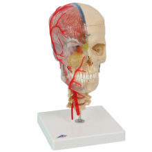 頭蓋,脳・頚椎付,半側透明7分解モデル BONElike™