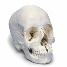 頭蓋骨22分解キット,ナチュラルカラー仕様