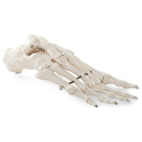 足の骨モデル,ワイヤーつなぎ