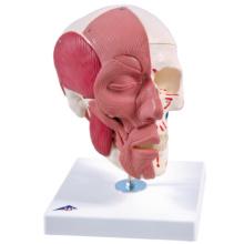 筋付頭蓋モデル