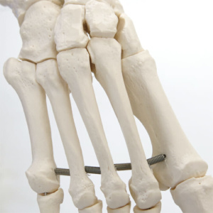 骨は個々に造形されています
