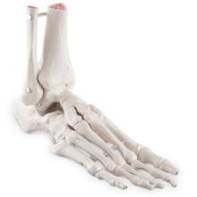 足の骨モデル,脛骨・腓骨付,エラスティックコードつなぎ
