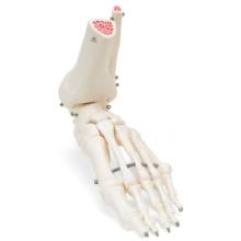 足の骨モデル,脛骨・腓骨付,ワイヤーつなぎ