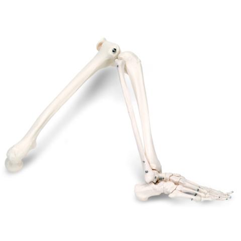 自由下肢骨モデル