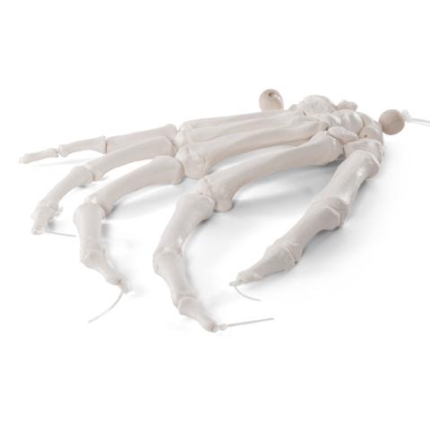 手の骨モデル,ナイロン糸つなぎ