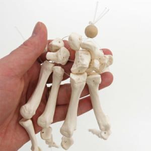 個々の骨を詳しく観察できます