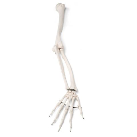 自由上肢骨モデル