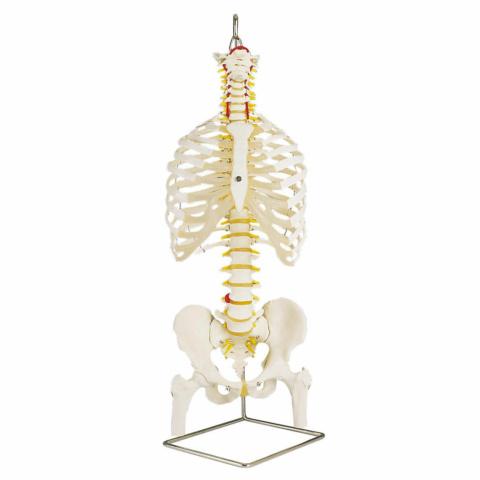 脊柱可動型モデル,胸郭,大腿骨付
