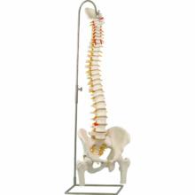 脊柱可動型モデル,大腿骨付
