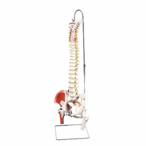 脊柱可動型モデル,大腿骨,筋・起始/停止表示付