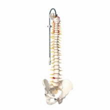 脊柱可動型モデル,延髄,馬尾付