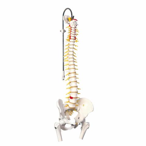 脊柱可動型モデル,延髄,馬尾,大腿骨付