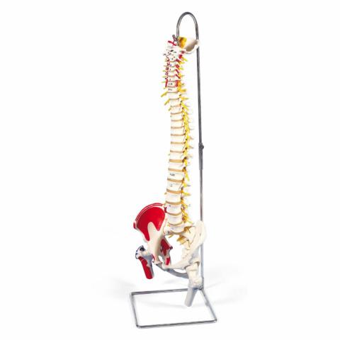 脊柱可動型モデル,延髄,馬尾,大腿骨,筋・起始/停止表示付