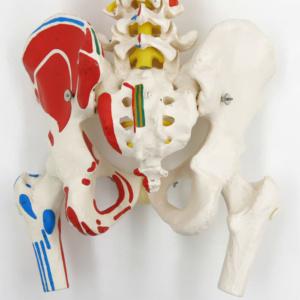 骨盤(背面)