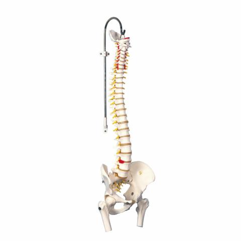 脊柱可動型モデル,金属管使用タイプ,大腿骨付