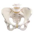 女性骨盤モデル,可動型
