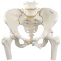 女性骨盤モデル,可動型・大腿骨付