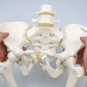 仙腸関節・恥骨結合の動き