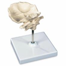 環椎と軸椎モデル,後頭骨・スタンド付