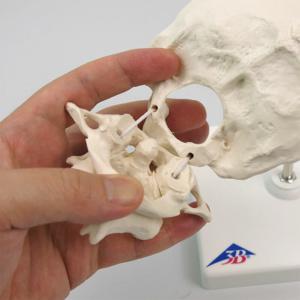 各骨は伸縮コードで繋がれています
