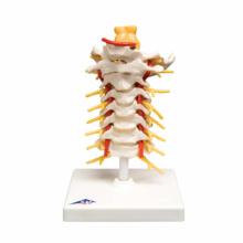 頚椎モデル