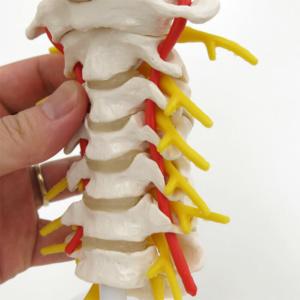 脊髄神経根・椎骨動脈