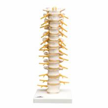 胸椎モデル