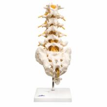 腰椎モデル