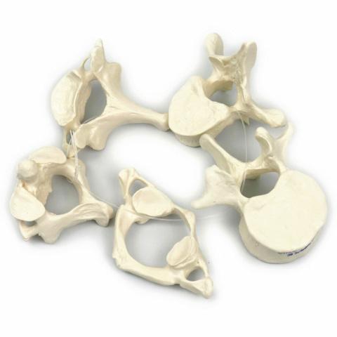 5個の椎骨モデル