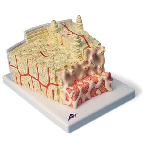 骨の構造モデル