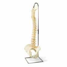 脊柱可動型,高精度モデル