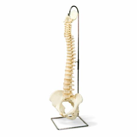 脊柱可動型,高精度モデル BONElike™