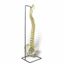 脊柱可動型,高精度モデル・スタンドセット