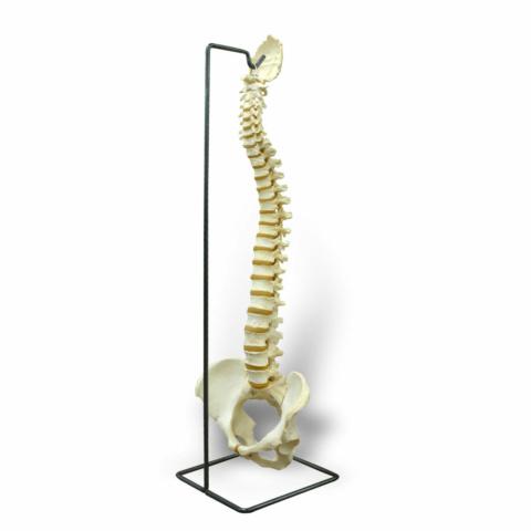 脊柱可動型,高精度モデル BONElike™・スタンドセット