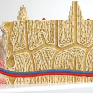 栄養孔を通る血管