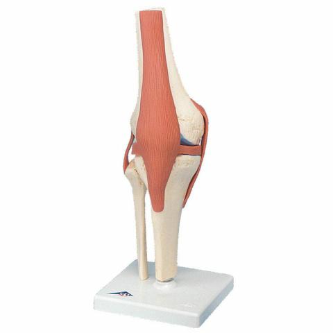 膝関節,機能デラックスモデル