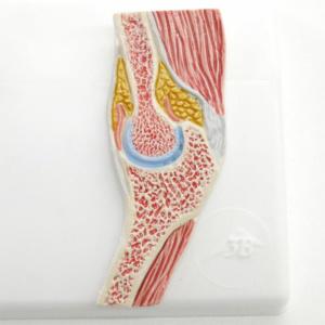 肘関節の断面図