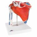 ローテーターカフ付肩関節モデル