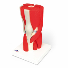 膝関節,筋付12分解モデル