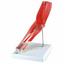 肘関節,筋付8分解モデル