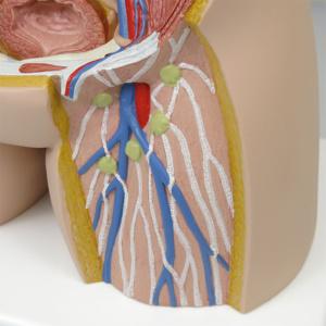 大腿動脈・静脈,リンパ節など