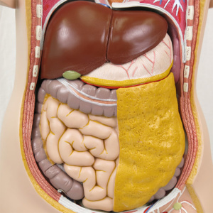 肝臓・胃・腸