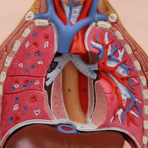 肺・心臓を取り外した状態